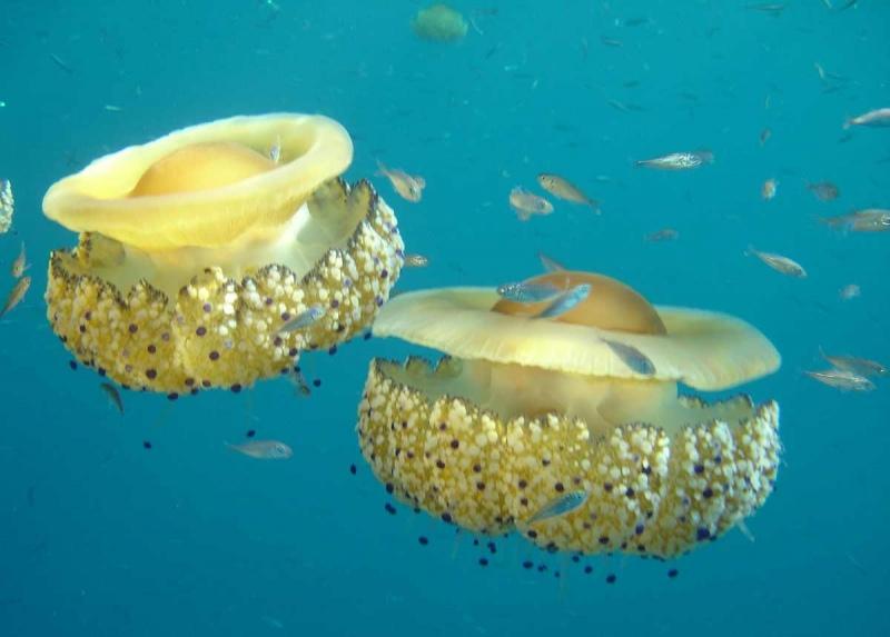 La medusa Cassiopea invade la Riviera. Cerrano: «Fenomeno del tutto normale»